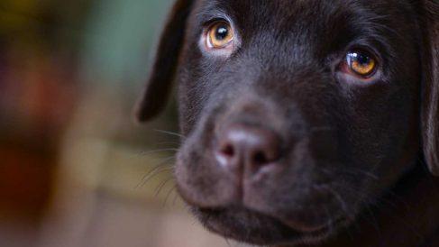 La leucemia en perros