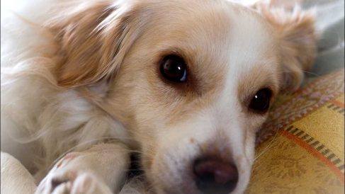 Cómo blanquear los ojos de tu perro