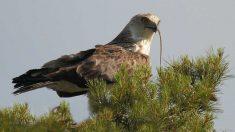 Aves: el águila culebrera