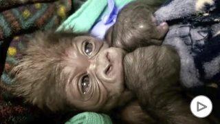 El zoo de Boston celebra el nacimiento de una nueva cría de gorila
