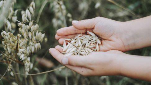 Remedios naturales: la avena coloidal