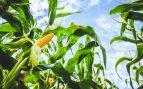 cereal más cultivado