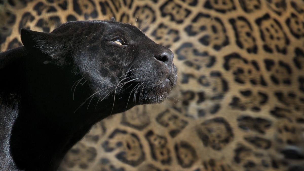 Curiosidades de los animales melanísticos