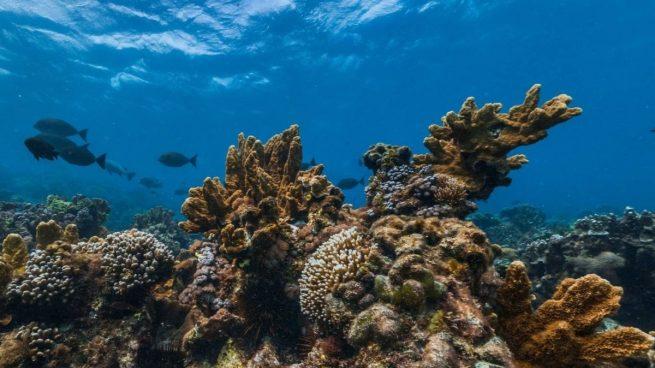Descubierto en Australia el coral más alto del mundo, de 500 metros de altura