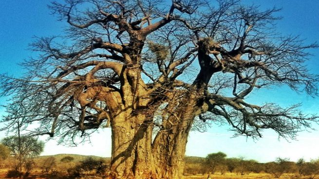Baobabs más antiguos de África