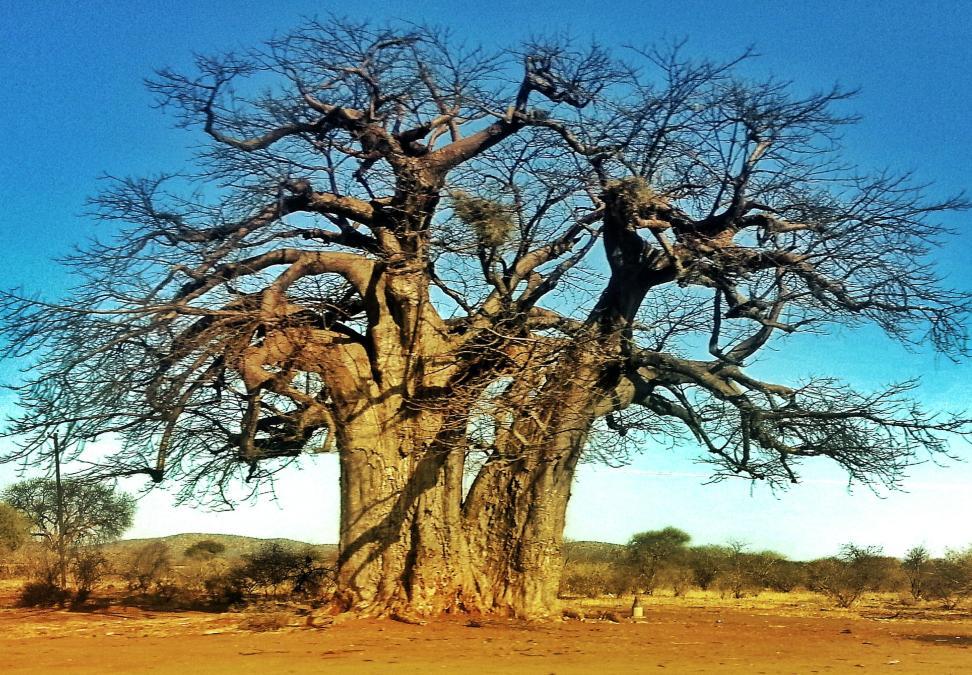 Baobabs en África