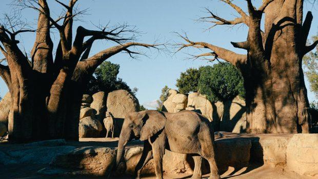 Los baobabs antiguos