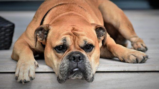 5 claves que te ayudarán a identificar si tu perro tiene demencia