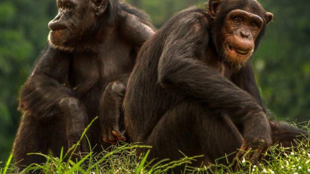 Chimpancés en grupo