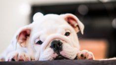 Flatulencias en tu perro
