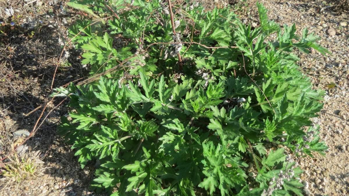Usos y propiedades de la artemisa dulce