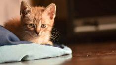 Gato con anemia