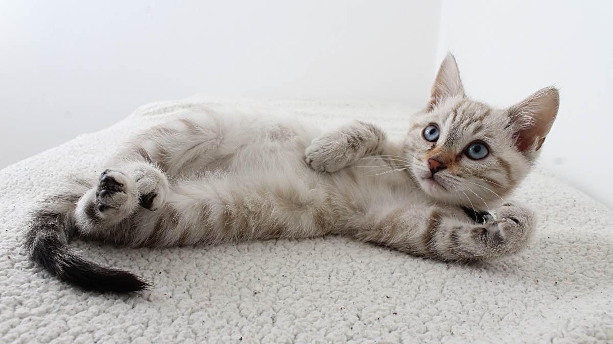 Gestos de amor gato
