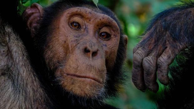 Prueba a chimpancé