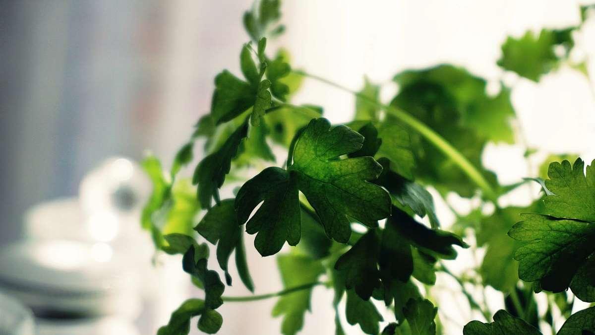 El cilantro es una de las hierbas más utilizadas en la cocina