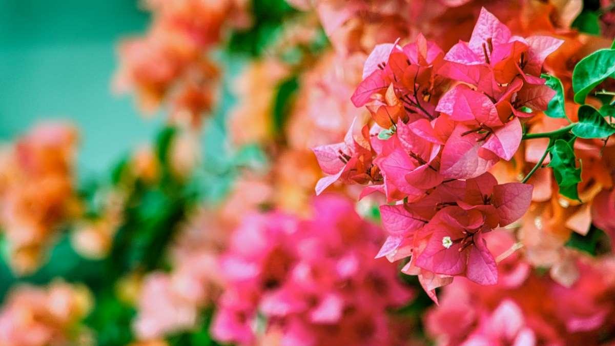 La buganvilla es una de las plantas más bonita para el hogar
