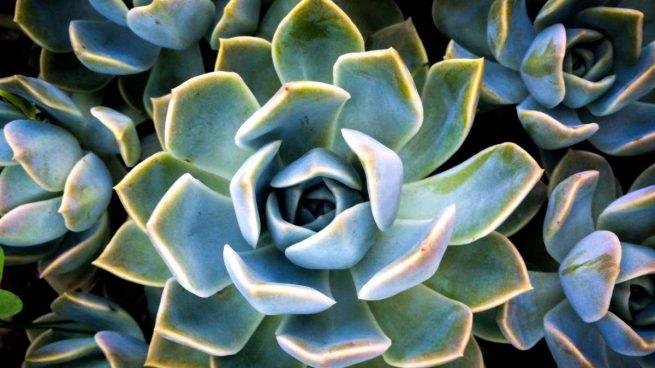cultivar ágave