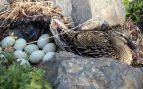 Huevos de pato