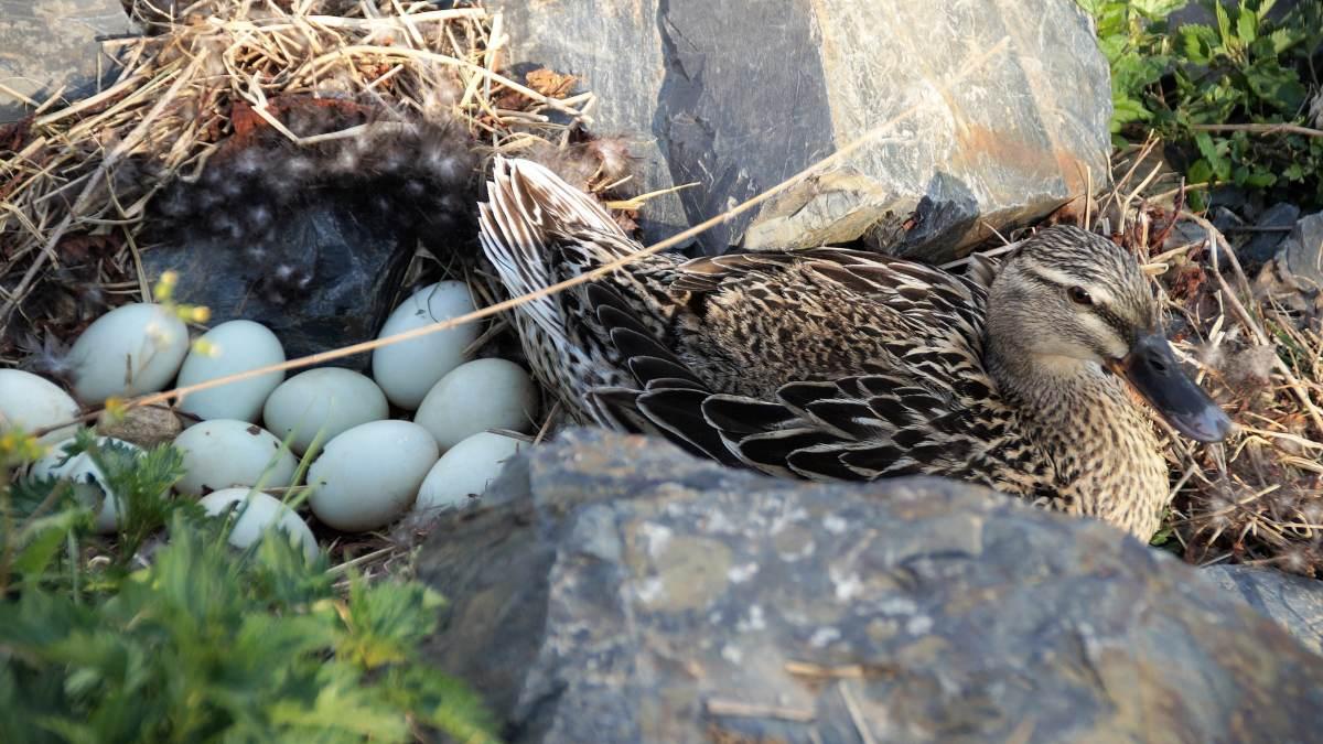 Pata y sus huevos