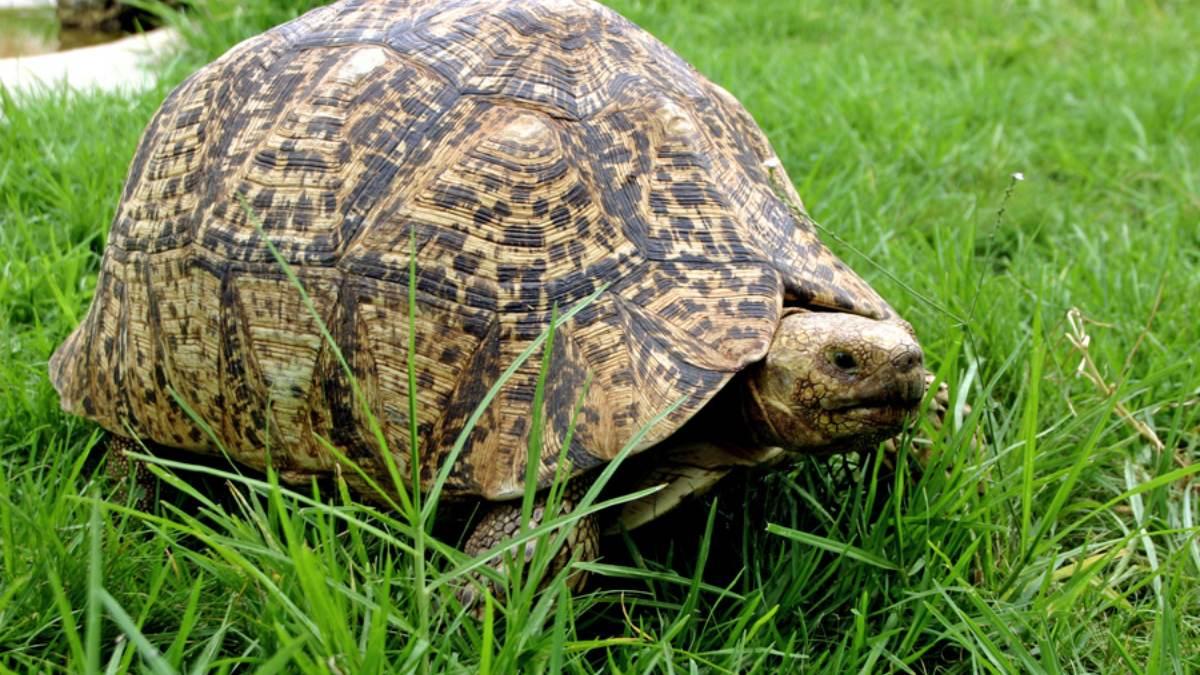 Cuidados de una tortuga leopardo