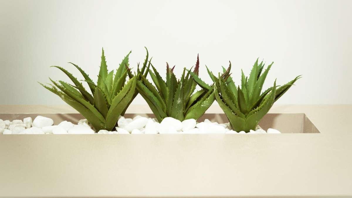 El aloe vera es una de las plantas más beneficiosas