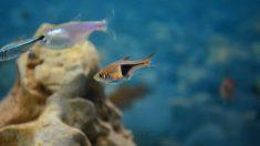 Los peces tetras en tu acuario