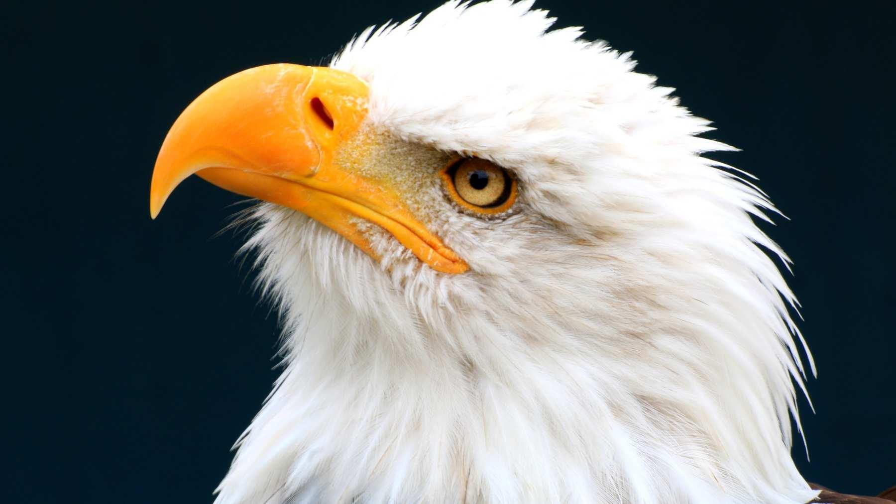 Curiosidades sobre el águila blanca