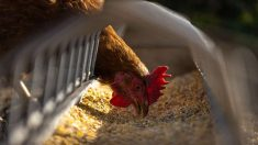La etología en la granja