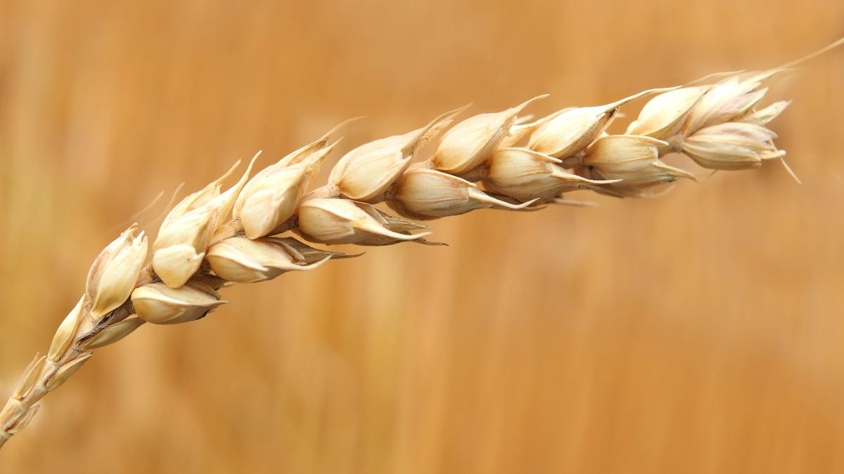 ¿En qué consiste la dieta del trigo?