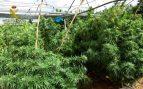 Golpe a la mayor red de marihuana en España: 372.000 plantas y 430 millones de negocio