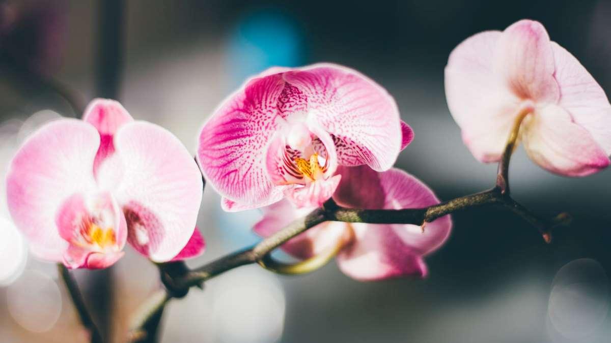 Las orquídeas son muy bonitas para decorar cualquier ambiente