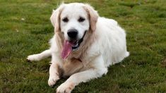 Pelaje blanco en perros