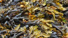 Lo que nos aportan las algas marinas