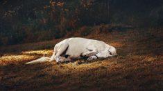 Enfermedades mascotas: pleuroneumonía equina