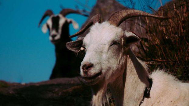Cabras con mastitis