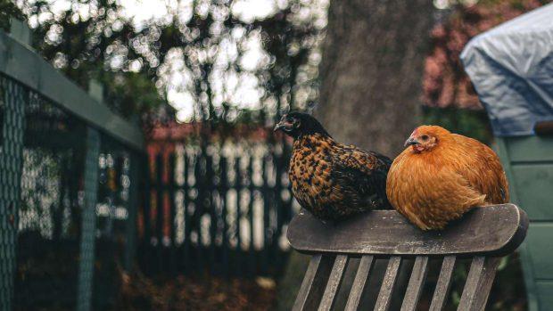 Gallinas y gallinero