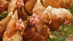 Orden en el gallinero