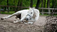 Azoturia en caballos