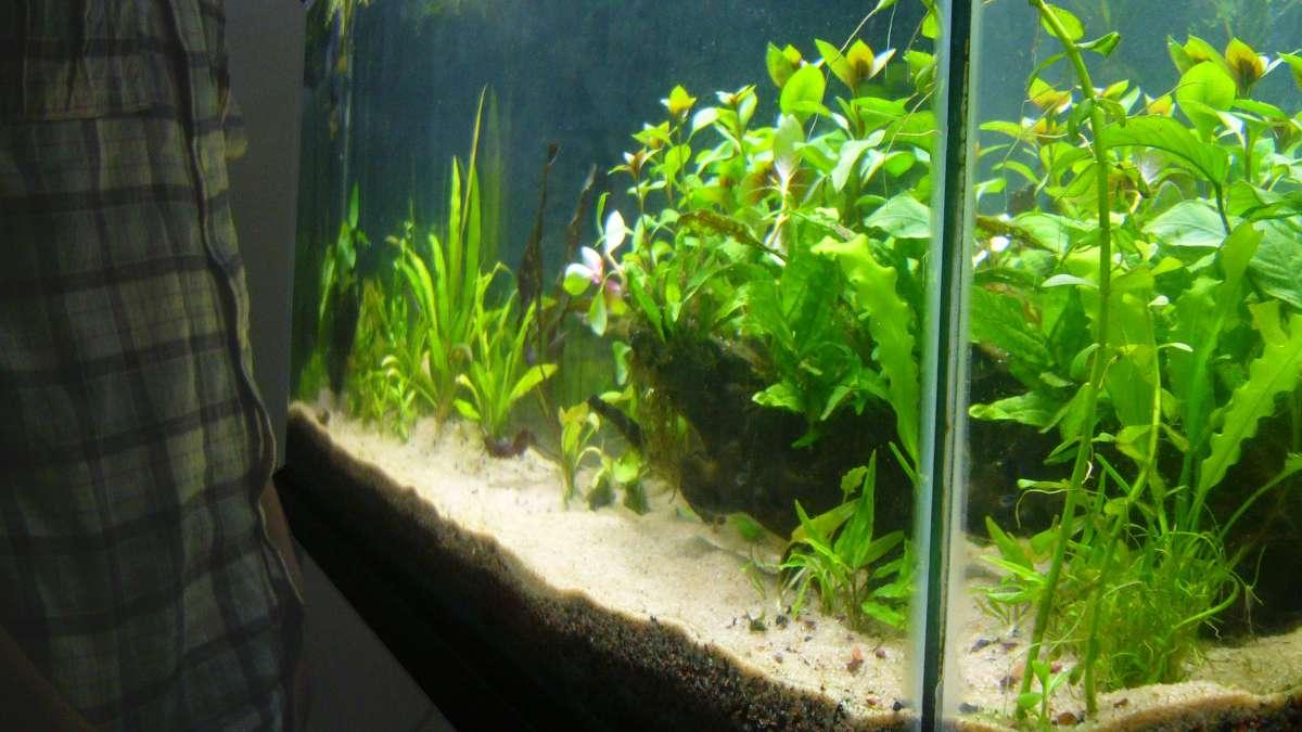 Enfermedades en plantas de acuario