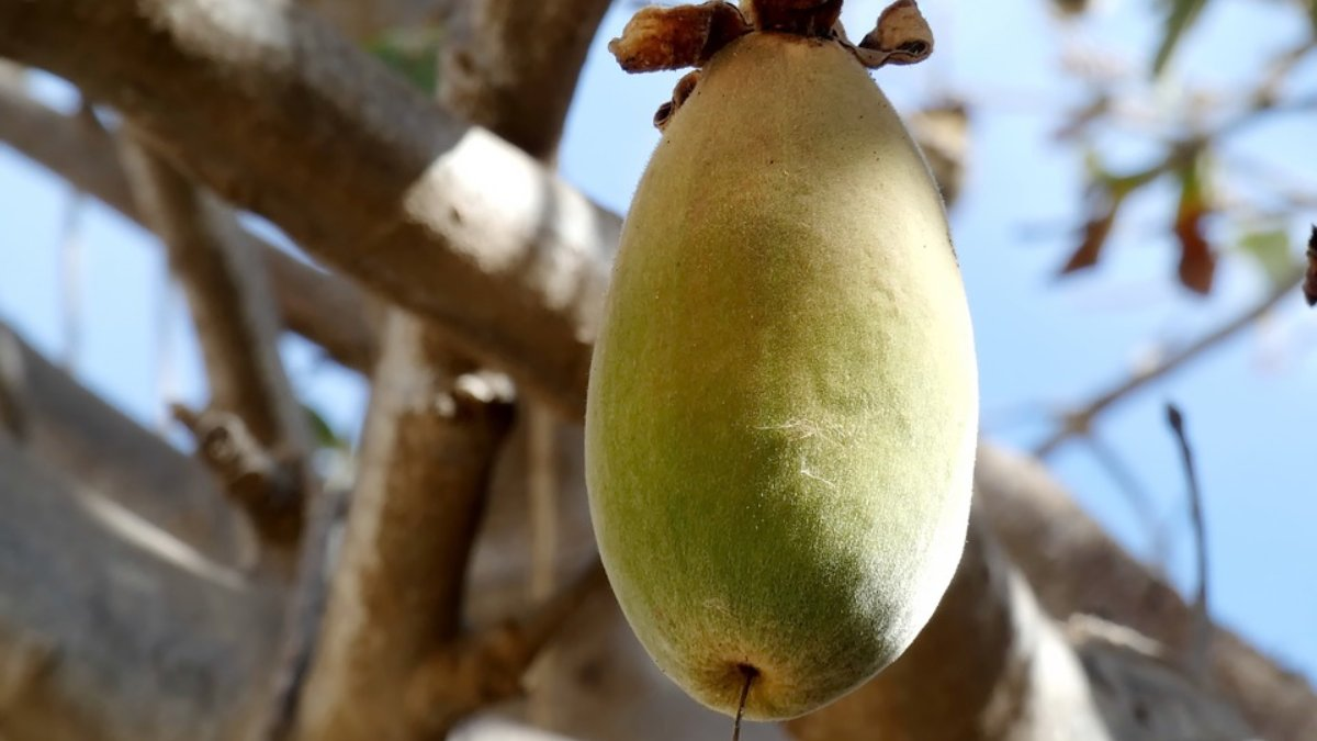 ¿Cuáles son las propiedades nutricionales del Baobab?