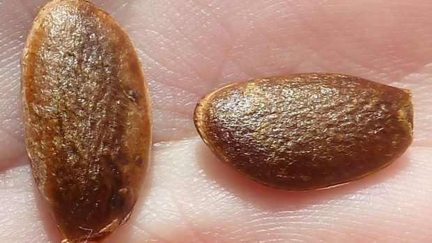 semillas caqui