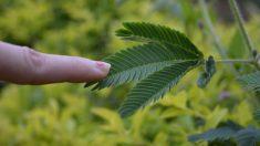 Las plantas sensitivas