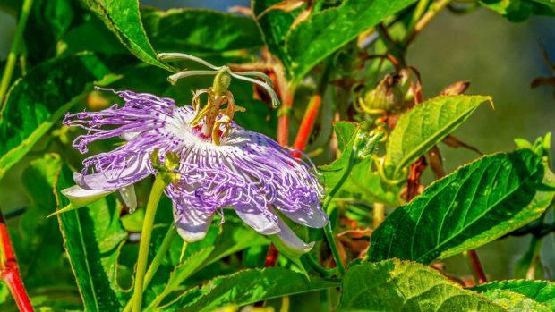 La flor de la pasión