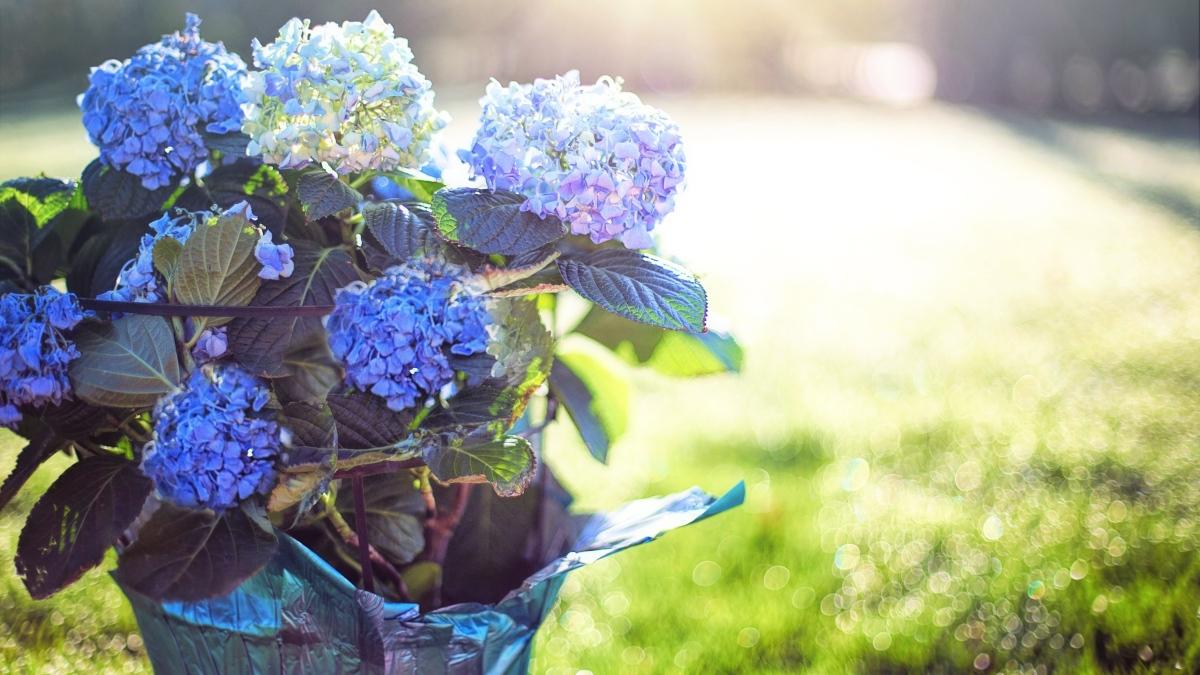 Pasos para conseguir que las hortensias tengan un color azul