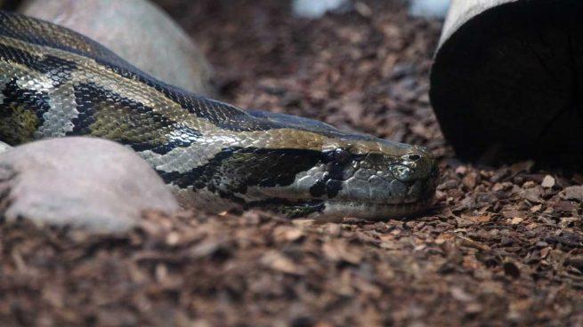 La serpiente más larga