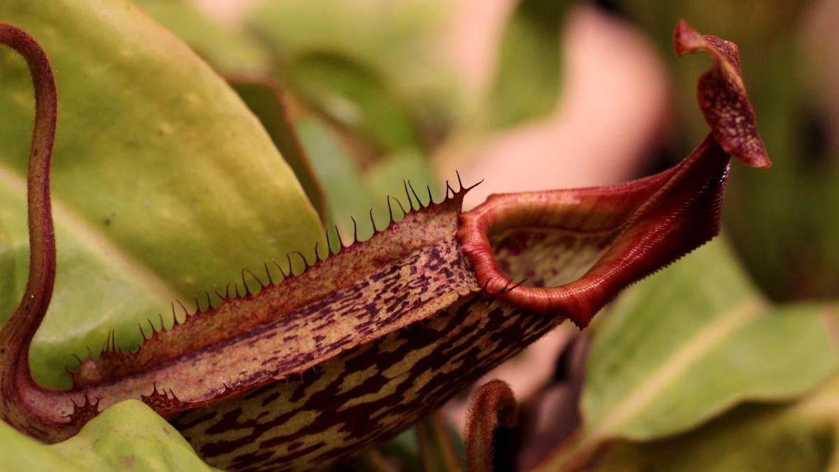 ¿Cómo es la planta jarra tropical?