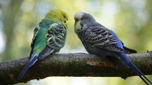 Quiste de plumas en tu pájaro doméstico, qué hacer