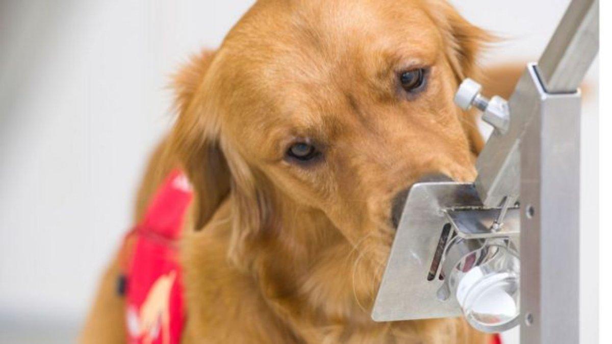 Perro adiestrado detectando COVID-19