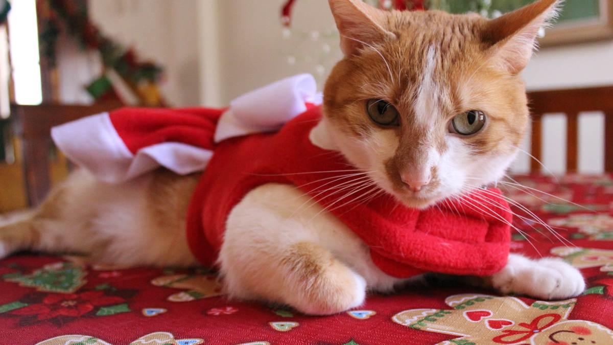 Gato en Navidad