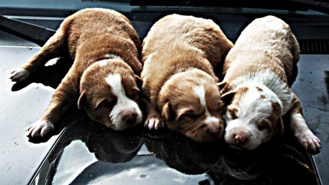 Razas nuevas de perros